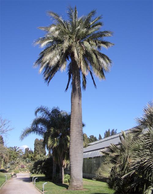 Слоновая пальма уход в домашних условиях