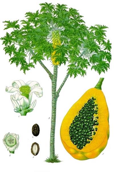 Папайя, или дынное дерево, Неизвестное об известном - интересные факты о растениях и животных
