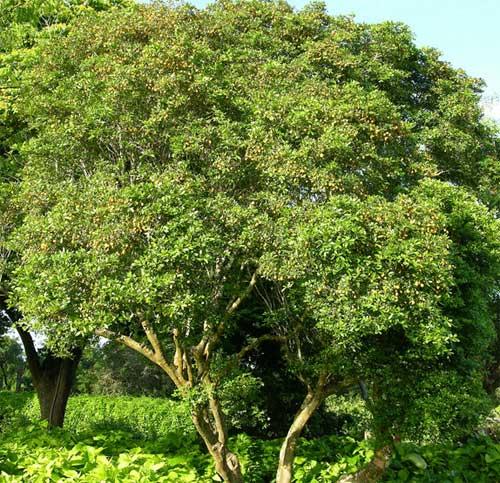 Дерево или бакаутовое дерево