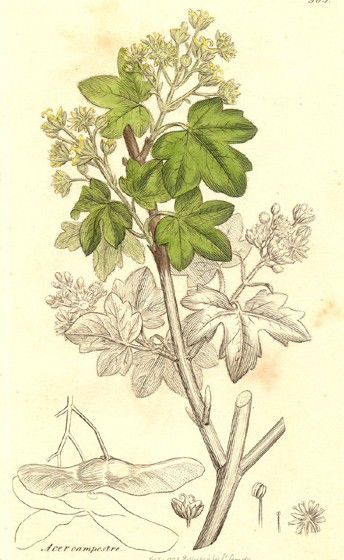 Ботаническая иллюстрация из книги Джеймса Эдуарда Смита English botany; or, coloured figures of British plants, том 3, Лондон, 1836
