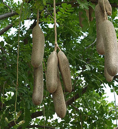 Какая колбаса растет на колбасном дереве?