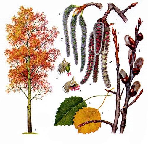 дерево осина осенью фото
