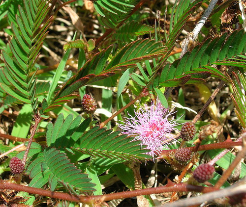 ������ ��������� (Mimosa pudica)