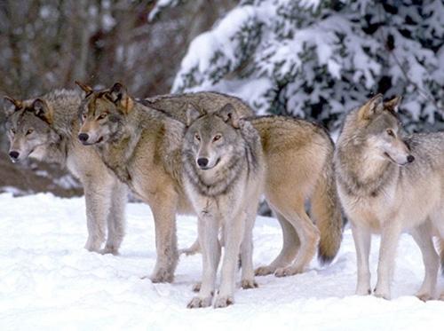 """Предпросмотр схемы вышивки  """"волки """" ."""